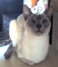 Siamese cat Dracs doesn't like to miss a trick!