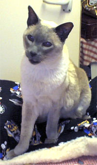 Siamese cat Spock surveying his kingdom from the ironing board.