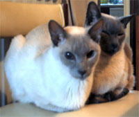 Siamese cats Spock and Dracs in a rare moment of togetherness. outside the bedroom